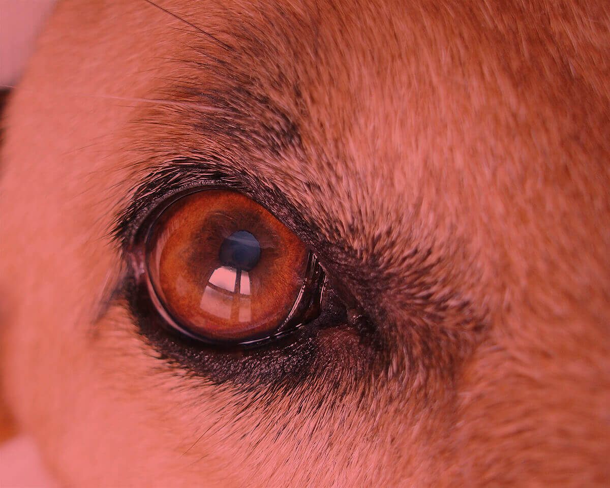 Dog Whites Of Eyes Are Brown