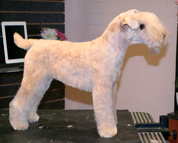 Lakeland Terrier Clipped Pet Trim Groomer To Groomer