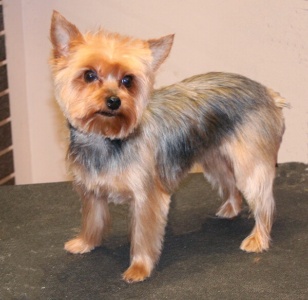 types of yorkie haircuts terrier haircuts haircuts models ideas 4341