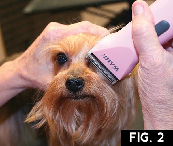 Yorkie Short Trim Groomer To Groomer Pet Grooming
