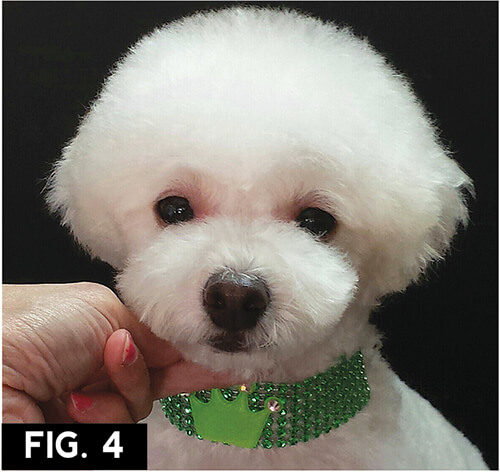 Asian Freestyle Groomer To Groomer Pet Grooming News