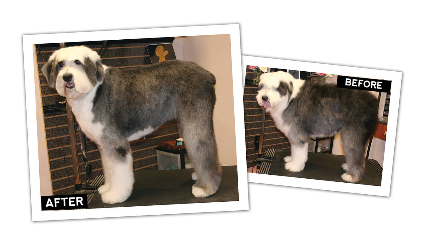 Old English Sheepdog Short Pet Trim | Groomer to Groomer