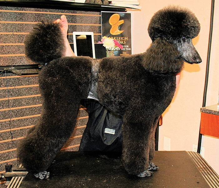 town and country poodle haircut standard poodle in a groomer to groomer pet 4994