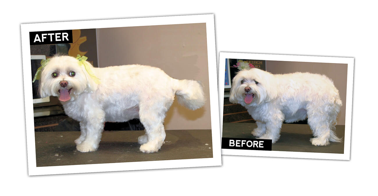 Maltese short pet trim groomer to groomer pet grooming news maltese short pet trim groomer to groomer pet grooming news stories and videos nvjuhfo Images
