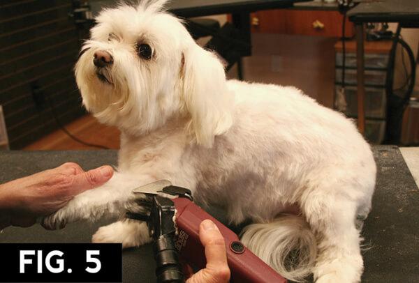 Maltese Short Pet Trim Groomer To Groomer Pet Grooming