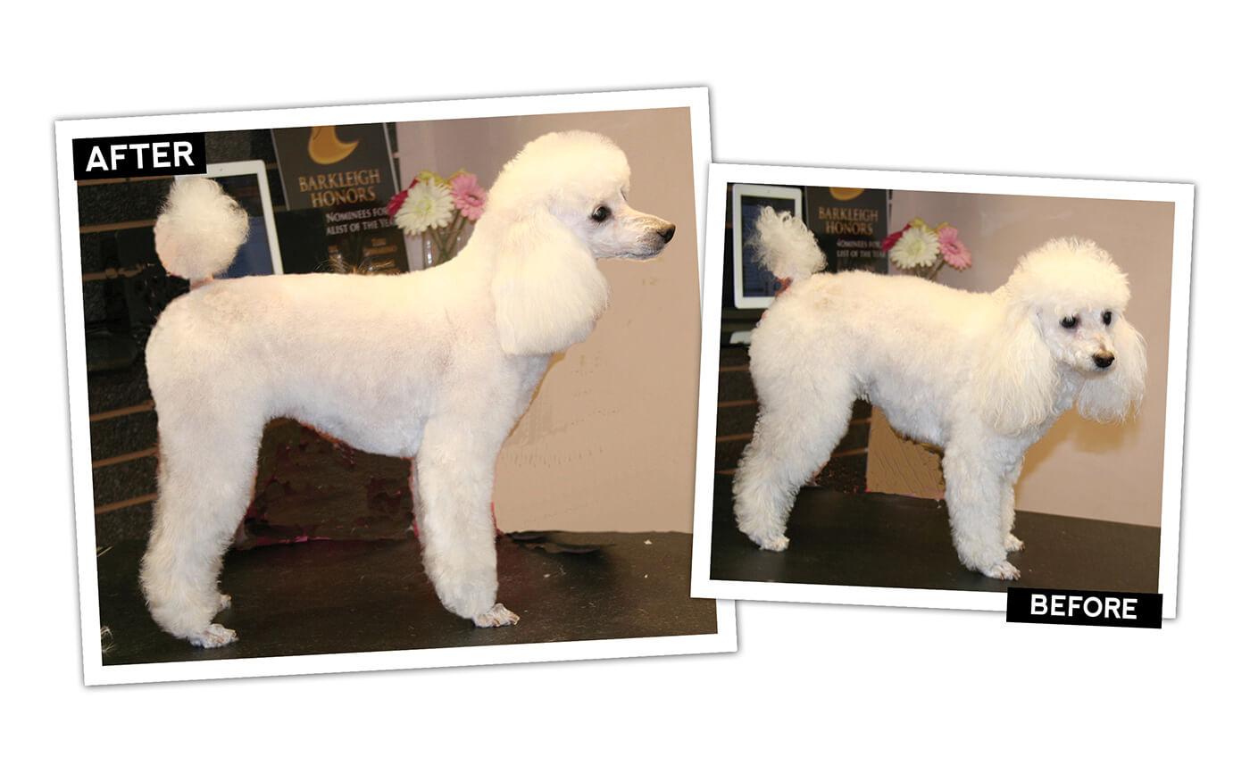 poodle   short lamb trim groomer  groomer pet grooming news stories  videosgroomer