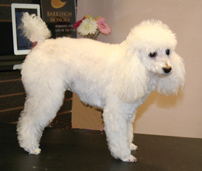 Poodle In A Short Lamb Trim Groomer To Groomer Pet