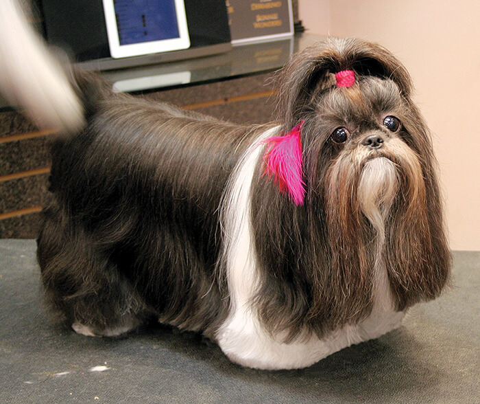 shaved shih tzu pet shih tzu drop coat groomer to groomer pet grooming 2531