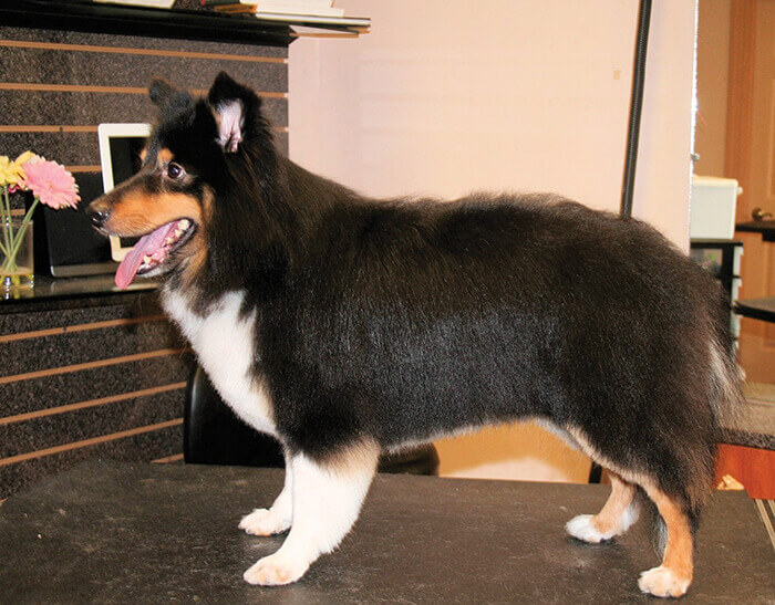 "The Shetland Sheepdog, usually referred to as a ""Sheltie"", sports a double coat with a very dense undercoat which actually helps the straight outer coat to ..."