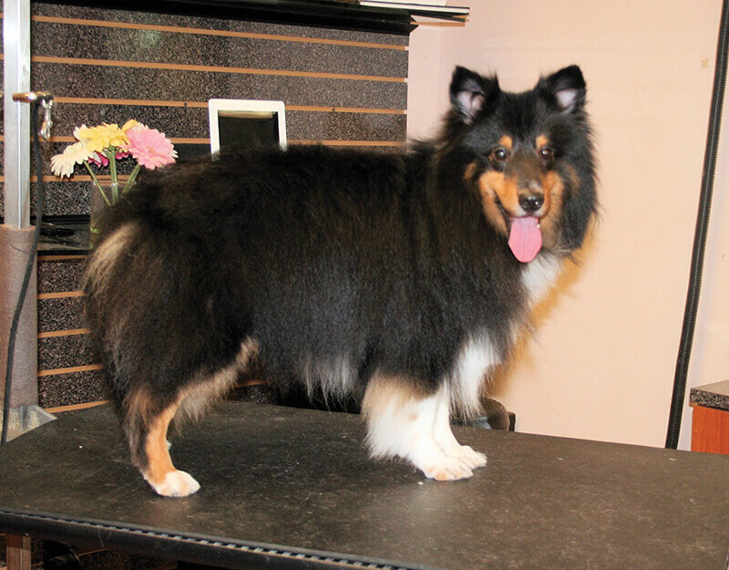 Sheltie Pet Trim