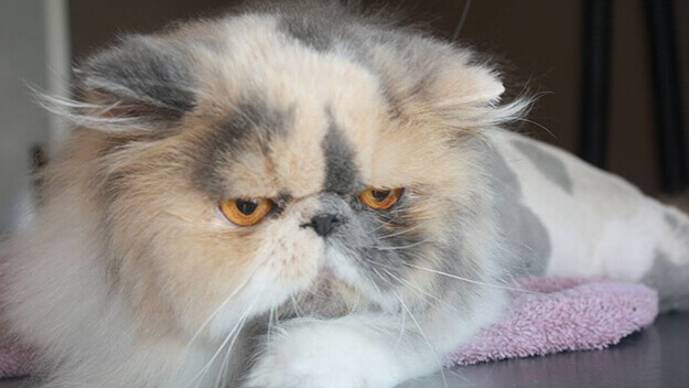 When to Send a Cat Home   Groomer to Groomer - Pet Grooming