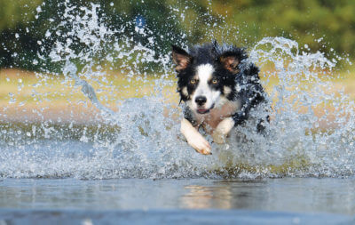 collie_water