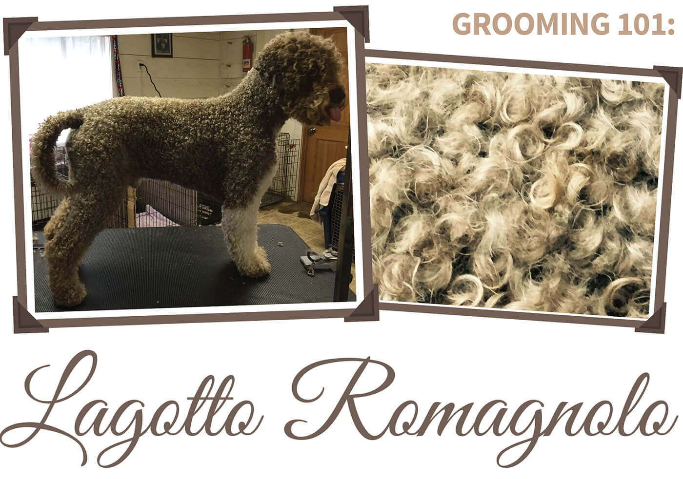 Lagotto Romagnolo Groomer To Groomer Pet Grooming News