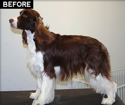 Grooming A Field Spaniel English Springer Spani...