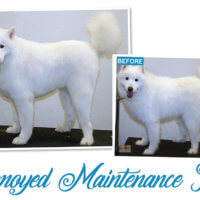 samoyed maintenance trim
