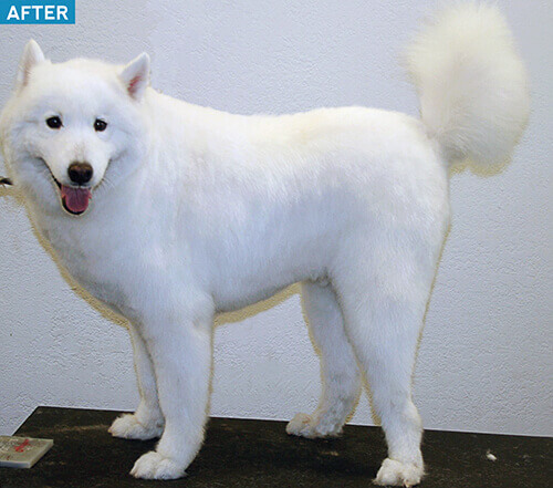 samoyed-after