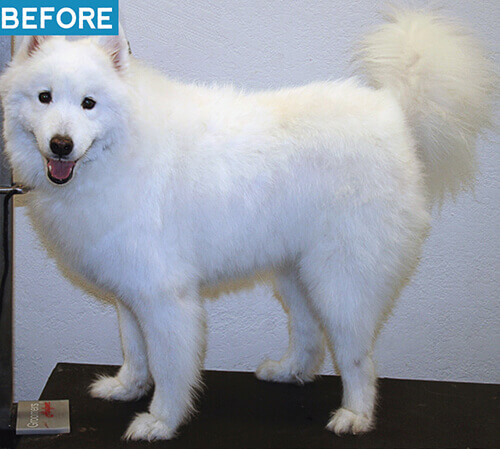 samoyed before