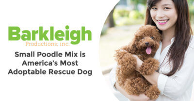 Small Poodle Mix is America's Most Adoptable Rescue Dog
