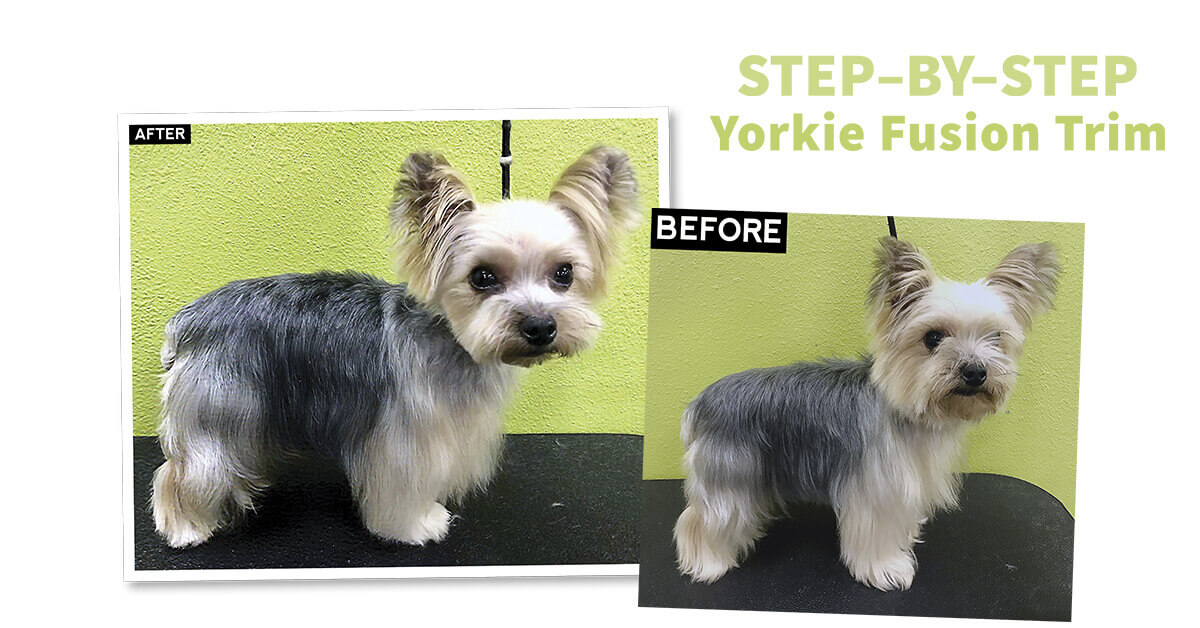 Step By Step Yorkie Fusion Trim Groomer To Groomer Magazine