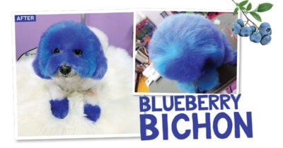 Blueberry Bichon