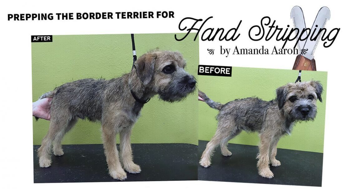 Prepping the Border Terrier for Hand Stripping