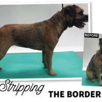 Handstripping the Border Terrier