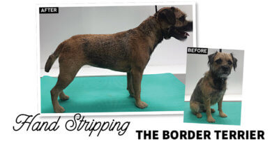 Handstripping the Border Terrier